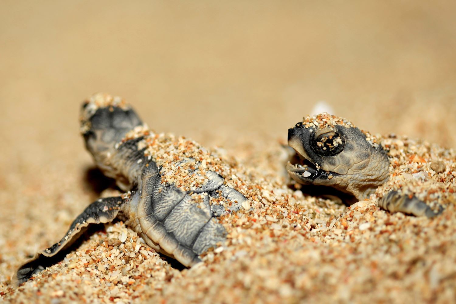Kish sea turtles