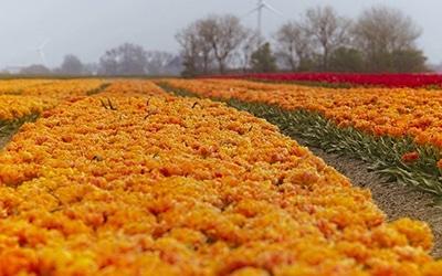 تصویری از دشت گل ها در هلند