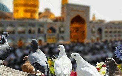 کبوترهای حرم امام رضا در مشهد