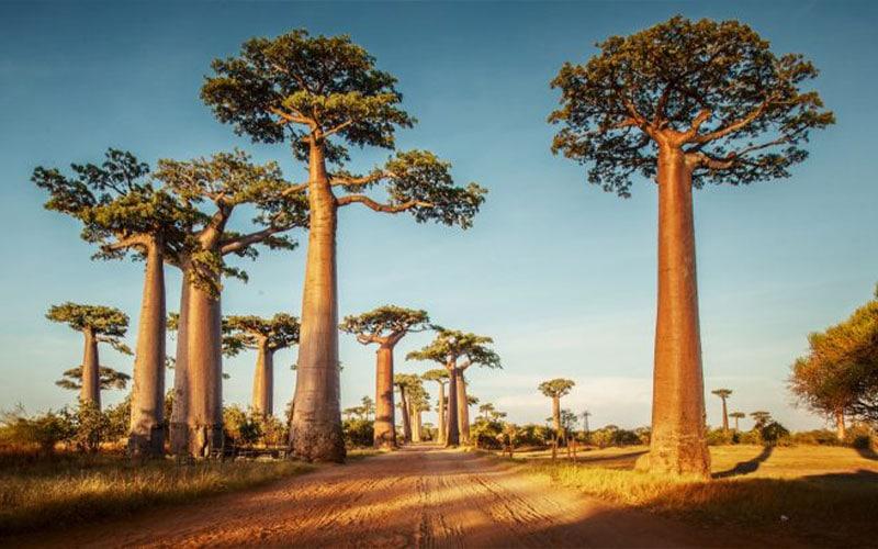 افسانه درختان بوئوباب کنیا