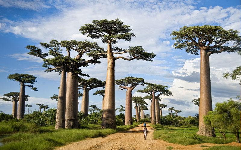 منظره ای از درختان بوئوباب